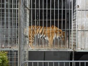 tiger-im-kaefig
